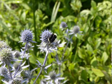 A bumble bee in the garden
