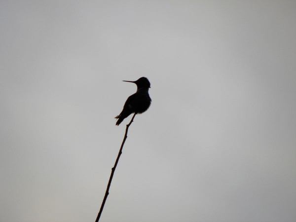 Anna's hummingbird silhouetted against a gray sky
