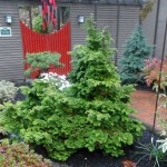 An evergreen conifer shrub