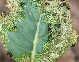Flea Beetles! Photo courtesy of Colorado State University