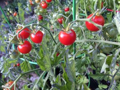 Lizzano tomato