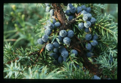 Juniper and berries