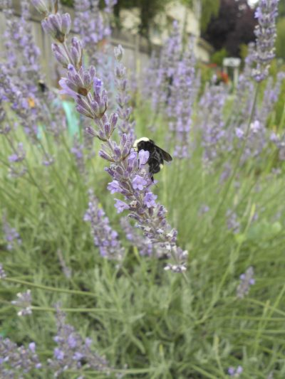 Yellow-Faced Bumble Bee on Lavender